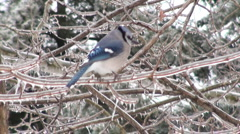 Blue Jay sitting on ice covered branch Stock Footage