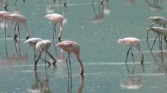 Flamingos in Ngorongoro Stock Footage