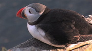 Stock Video Footage of Atlantic Puffin