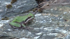 Green frog sitting on rock Stock Footage