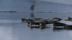 Pan across seals on the edge of an ice flow in Iceland - stock footage