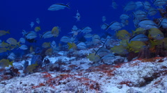 School of fish: Grunt fish Stock Footage