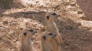 Meerkat Clip 3 Stock Footage