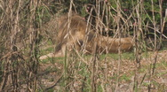 Lion Clip 2 Stock Footage
