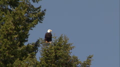 Bald Eagle 82 Stock Footage