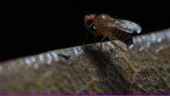 Fruit fly Drosophila melanogastor Stock Footage