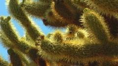 Cholla Cactus Close Up 1 Stock Footage