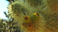 Stock Video Footage of Cholla Cactus XCU