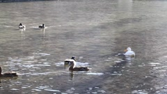 Ducks on a river Stock Footage