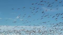 Birds Soar In Winter Sky Stock Footage