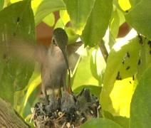 2 week old hummingbirds feeding Stock Footage