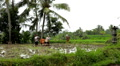Men working in Rice Fields, Paddy Field, Palm Trees, Bali, Indonesia Footage