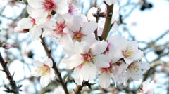 Blossoming almond flowers in springtime Stock Footage