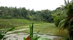 Beautiful Terraced Rice Fields, Paddy Field, Palm Trees, Bali, Indonesia - stock footage