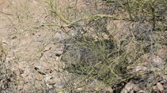 Javelina Walks Through Desert Stock Footage