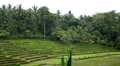 Beautiful Terraced Rice Fields, Paddy Field, Palm Trees, Bali, Indonesia HD Footage