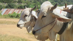 Thailand: Pair of yoked oxen Stock Footage