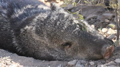 Javelina Wakes Up Stock Footage
