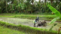 Men working in Rice Fields, Paddy Field, Palm Trees, Bali, Indonesia - stock footage