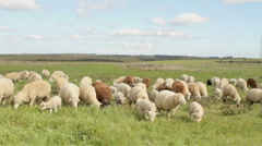 Sheep and lambs in the countryside from Portugal - stock footage