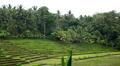 Beautiful Terraced Rice Fields, Paddy Field, Palm Trees, Bali, Indonesia HD Footage