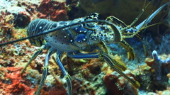 Spiny lobster walking coral reef - stock footage