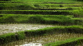 Beautiful Terraced Rice Fields, Paddy Field, Palm Trees, Bali, Indonesia Footage
