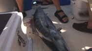 Stock Video Footage of Saltwater Fishing Wahoo