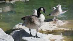Canadian Goose Stock Footage