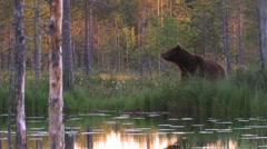 Brown Bear water reflection Stock Footage
