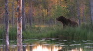 Stock Video Footage of Brown Bear water reflection