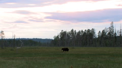 Brown Bear in moor at distant view Stock Footage