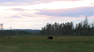 Stock Video Footage of Brown Bear in moor at distant view