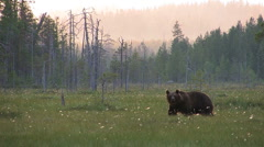 Brown Bear in moor, distant view Stock Footage
