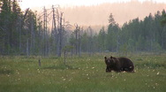 Stock Video Footage of Brown Bear in moor, distant view