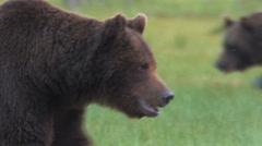 Two Brown Bears passing in moor - stock footage