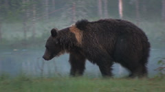 Brown Bear walking by pond Stock Footage