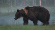 Stock Video Footage of Brown Bear walking by pond