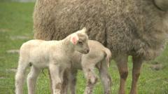 Sheep02 Stock Footage