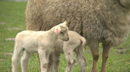 Sheep02 Stock Footage