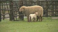 Sheep06 Stock Footage