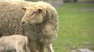 Sheep Stock Footage