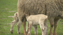 sheep06 - stock footage