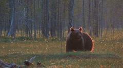 Brown Bear walking in the moor - stock footage