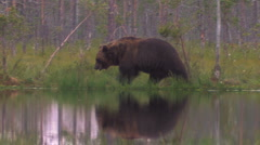 Brown Bear walking water reflection Stock Footage
