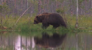 Stock Video Footage of Brown Bear walking water reflection