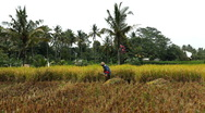 Stock Video Footage of Workers in Rice Fields, Paddy Field, Palm Trees, Bali, Indonesia