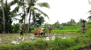 Stock Video Footage of Men working in Rice Fields, Paddy Field, Palm Trees, Bali, Indonesia