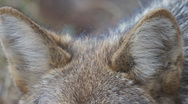 Stock Video Footage of Coyote Ears