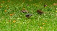 Java Sparrow and Common Waxbil Stock Footage